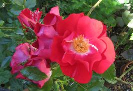 eine nicht gefüllte Rose ist geeignet für Bienen